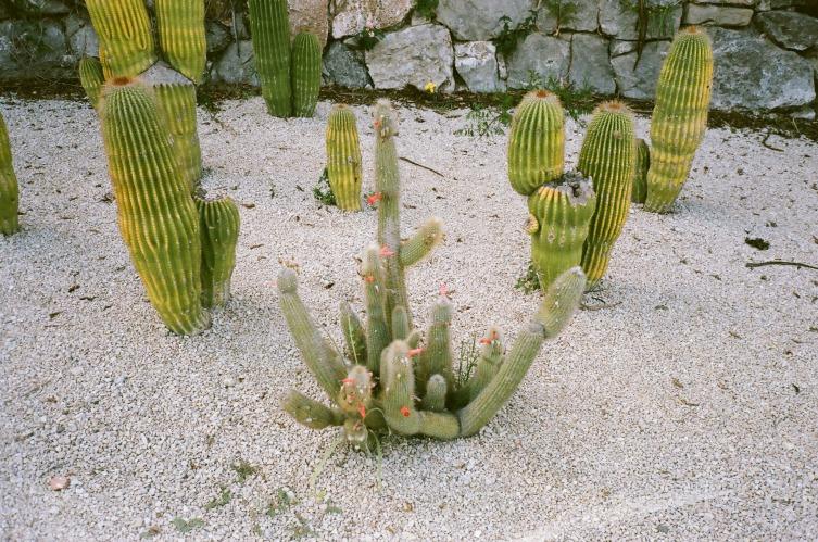 Kaktus